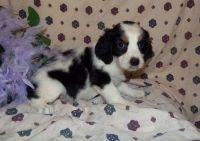 English Springer Spaniel Puppies for sale in Bristol, ME, USA. price: NA