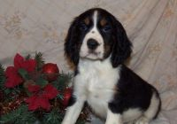 English Springer Spaniel Puppies for sale in Georgetown, KY 40324, USA. price: NA
