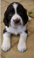 English Springer Spaniel Puppies for sale in Bozeman, MT, USA. price: NA