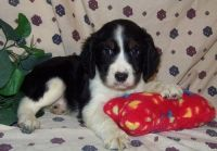 English Springer Spaniel Puppies for sale in West Lafayette, IN, USA. price: NA