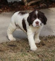 English Springer Spaniel Puppies for sale in Salem, OR, USA. price: NA
