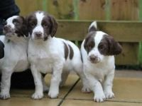 English Springer Spaniel Puppies for sale in Indianapolis, IN, USA. price: NA
