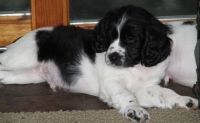 English Springer Spaniel Puppies for sale in Shawnee, OK, USA. price: NA