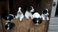 English Springer Spaniel Puppies for sale in Atlanta, GA 30384, USA. price: NA