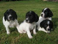 English Springer Spaniel Puppies for sale in NJ-17, Paramus, NJ 07652, USA. price: NA