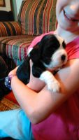English Springer Spaniel Puppies for sale in Como, TX 75431, USA. price: NA