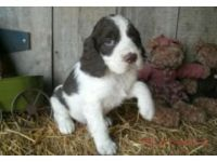 English Springer Spaniel Puppies for sale in CA-111, Rancho Mirage, CA 92270, USA. price: NA