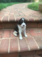 English Springer Spaniel Puppies for sale in Lynchburg, VA, USA. price: NA