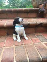English Springer Spaniel Puppies for sale in Lynchburg, VA, USA. price: NA