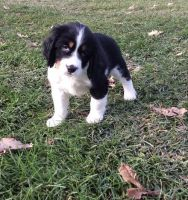 English Springer Spaniel Puppies for sale in Green Bay, WI, USA. price: NA