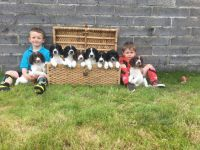 English Springer Spaniel Puppies for sale in Indianapolis Blvd, Hammond, IN, USA. price: NA