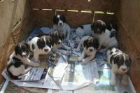 English Springer Spaniel Puppies for sale in Florida, NY, USA. price: NA