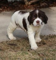 English Springer Spaniel Puppies for sale in District Heights, MD 20747, USA. price: NA