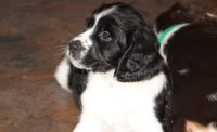 English Springer Spaniel Puppies for sale in Cincinnati, OH, USA. price: NA