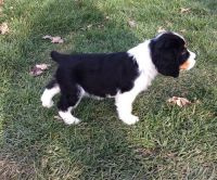 English Springer Spaniel Puppies for sale in Taylorsville, UT, USA. price: NA
