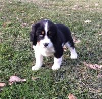 English Springer Spaniel Puppies for sale in North Beach, MD, USA. price: NA