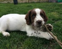 English Springer Spaniel Puppies for sale in Valencia, Santa Clarita, CA 91354, USA. price: NA