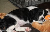 English Springer Spaniel Puppies for sale in Oklahoma City, OK, USA. price: NA