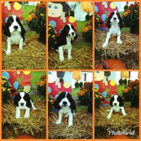 English Springer Spaniel Puppies for sale in Smithfield, NC 27577, USA. price: NA