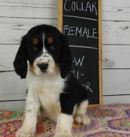 English Springer Spaniel Puppies for sale in Kenduskeag, ME 04450, USA. price: NA