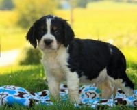 English Springer Spaniel Puppies for sale in Crystal City, MO, USA. price: NA