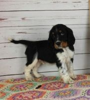 English Springer Spaniel Puppies for sale in Gillette, WY, USA. price: NA