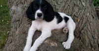 English Springer Spaniel Puppies for sale in Lanai City, HI 96763, USA. price: NA