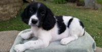 English Springer Spaniel Puppies for sale in Bluff City, AR, USA. price: NA