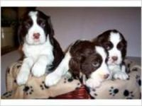 English Springer Spaniel Puppies for sale in Calhoun Rd, Houston, TX, USA. price: NA