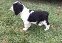 English Springer Spaniel Puppies for sale in St Clair, MI 48079, USA. price: NA