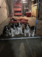 English Springer Spaniel Puppies Photos