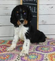 English Springer Spaniel Puppies for sale in Daytona Beach, FL, USA. price: NA