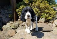 English Springer Spaniel Puppies for sale in New York, NY, USA. price: NA