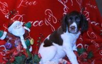 English Springer Spaniel Puppies for sale in Jersey City, NJ 07306, USA. price: NA