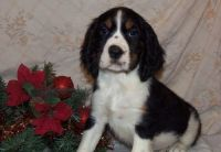 English Springer Spaniel Puppies for sale in Aztec, NM, USA. price: NA
