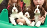 English Springer Spaniel Puppies for sale in Fitchburg, MA 01420, USA. price: NA