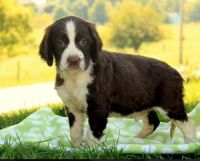 English Springer Spaniel Puppies for sale in Chappells, SC 29037, USA. price: NA