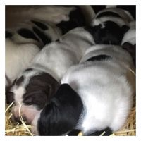 English Springer Spaniel Puppies for sale in Vacaville, CA, USA. price: NA