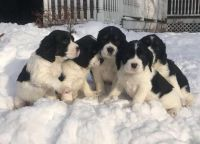 English Springer Spaniel Puppies for sale in Grand Rapids, MI, USA. price: NA