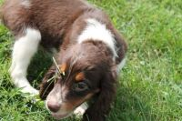 English Springer Spaniel Puppies for sale in Aurora, CO, USA. price: NA