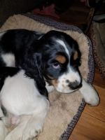 English Springer Spaniel Puppies for sale in Salina, PA 15680, USA. price: NA