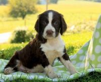 English Springer Spaniel Puppies for sale in Manilla, IN 46150, USA. price: NA