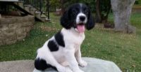 English Springer Spaniel Puppies for sale in Santa Monica, CA, USA. price: NA