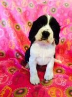 English Springer Spaniel Puppies for sale in Blanchard, ID 83804, USA. price: NA