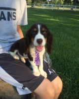 English Springer Spaniel Puppies for sale in Wilmar, AR 71675, USA. price: NA