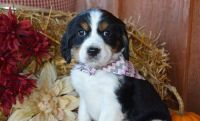 English Springer Spaniel Puppies for sale in Brooklyn, NY, USA. price: NA