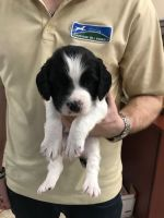 English Springer Spaniel Puppies for sale in Glenview, IL, USA. price: NA