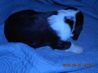 English Springer Spaniel Puppies for sale in Concord, NC, USA. price: NA