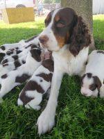 English Springer Spaniel Puppies for sale in Romulus, MI 48174, USA. price: NA