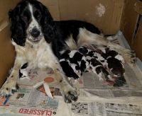 English Springer Spaniel Puppies for sale in St. Louis, MI, USA. price: NA